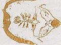 Limulus polyphemus (YPM IZ 098244) 001.jpeg