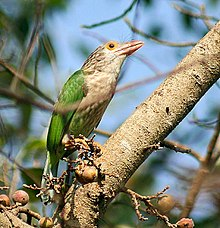 Lineated Barbet- on a Goolar fig (Ficus racemosa)- I IMG 5807.jpg