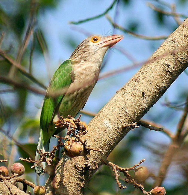 Lineated Barbet- on a Goolar fig (Ficus racemosa)- I IMG 5807