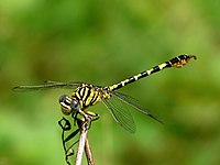 Lined Hooktail Paragomphus lineatus Male.jpg