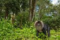 Lion Tailed Macaque in a Tea Estate.jpg