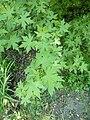 Liquidambar orientalis arboretum Breuil 2.jpg