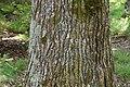 Liquidambar styraciflua in Eastwoodhill Arboretum (1).jpg