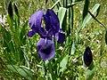 Lirio morao (Iris subbiflora) (3813647175).jpg