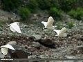 Little Egret (Egretta garzetta) (23534991481).jpg