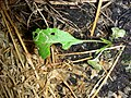 Little Green Grubs on Rocket Cabbage - White Butterfly larvae (Pieris rapae).jpg