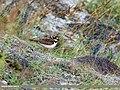 Little Ringed Plover (Charadrius dubius) (44520544615).jpg