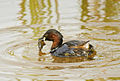 Little grebe eating a crab.jpg