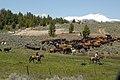 Livestock086 (38844491792).jpg