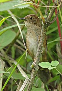 Sichuan bush warbler species of bird