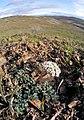 Lomatium canbyi 3.jpg