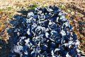 Lombarda - Purple garbage (Brassica oleracea var. capitata f. rubra), Bijuesca, España.JPG
