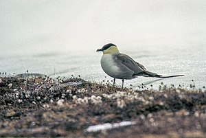 Long-tailed jaeger - Image: Long tailed Skua (js) 26