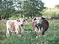 Longhorn cattle - geograph.org.uk - 1520804.jpg