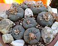 Lophophora williamsii 1e.jpg