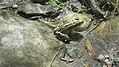 Lot of Frogs on the Saint John River (8455582685).jpg