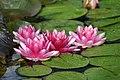 Lotus Flowers, Norfolk Botanical Gardens, Virginia, U.S.A.jpg