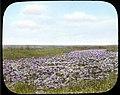 Lotus flower beds (3948760402).jpg