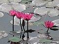 Lotus in India.JPG