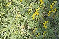 Lotus ornithopodioides-2866.jpg