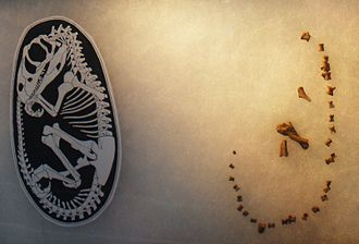Lourinhanosaurus - Embryo restoration and bone fragments