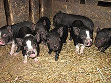"""...направлением фермерского хозяйства  """"Кащук и К """" является выращивание и разведение вьетнамских вислобрюхих свиней, в..."""