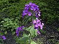 Lunaria annua flowers.jpg