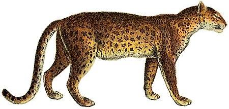 Lydekker - Leopard (white background).JPG