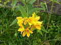 Lysimachia vulgaris flowers.jpg
