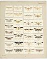 MA I437897 TePapa Plate-XXXVI-The-butterflies full.jpg