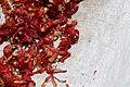 Macis - Myristica fragrans (8684865919).jpg