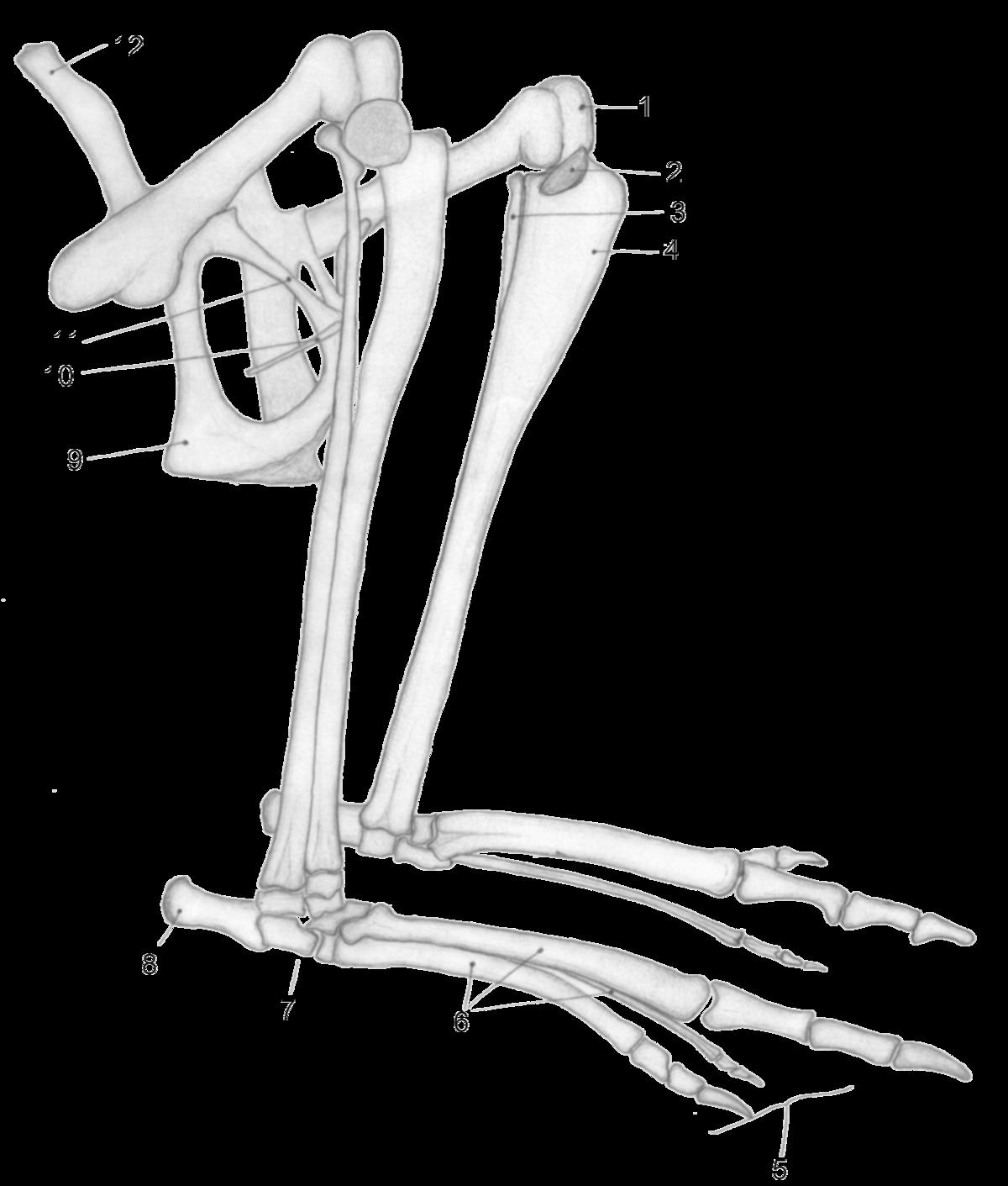 Epipubic Bone Wikipedia