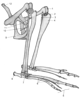 Epipubic bone