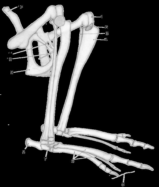 Epipubic bone - Wikiwand