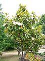 Magnolia grandiflora10.jpg