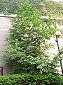 Magnolia liliiflora leaves 2.jpg