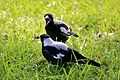 Magpie Feeding Time (6768057819).jpg