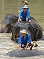 Mahouts Bathing Elephants - Thai Elephant Conservation Center - Hang Chat - Thailand - 02 (35175472716).jpg