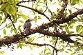 Malabar Hornbill.jpg