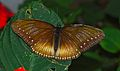 Malayan Egg-fly (Hypolimnas anomala) (8739011276).jpg