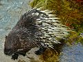 Malayan Porcupine (Hystrix brachyura) (7136046465).jpg