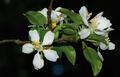 Malus-crescimannoi-flowers.png
