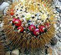 Mammillaria nivosa 01.jpg