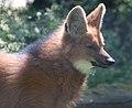 Maned wolf close up (5751707833).jpg