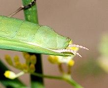 Mante religieuse wikip dia - Insecte vert volant ...