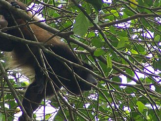 Mantled howler - Male mantled howler howling in the trees