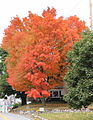 Maple tree in Ringtown, Pennsylvania.JPG