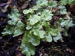 definition of marchantia