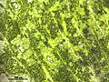 Marchantia polymorpha (d, 144722-474816) 7503.JPG
