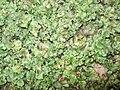 Marchantia polymorpha 01.JPG